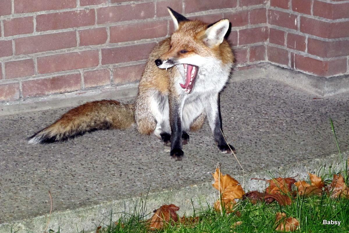 Der Fuchs hat Zeit mitgebracht