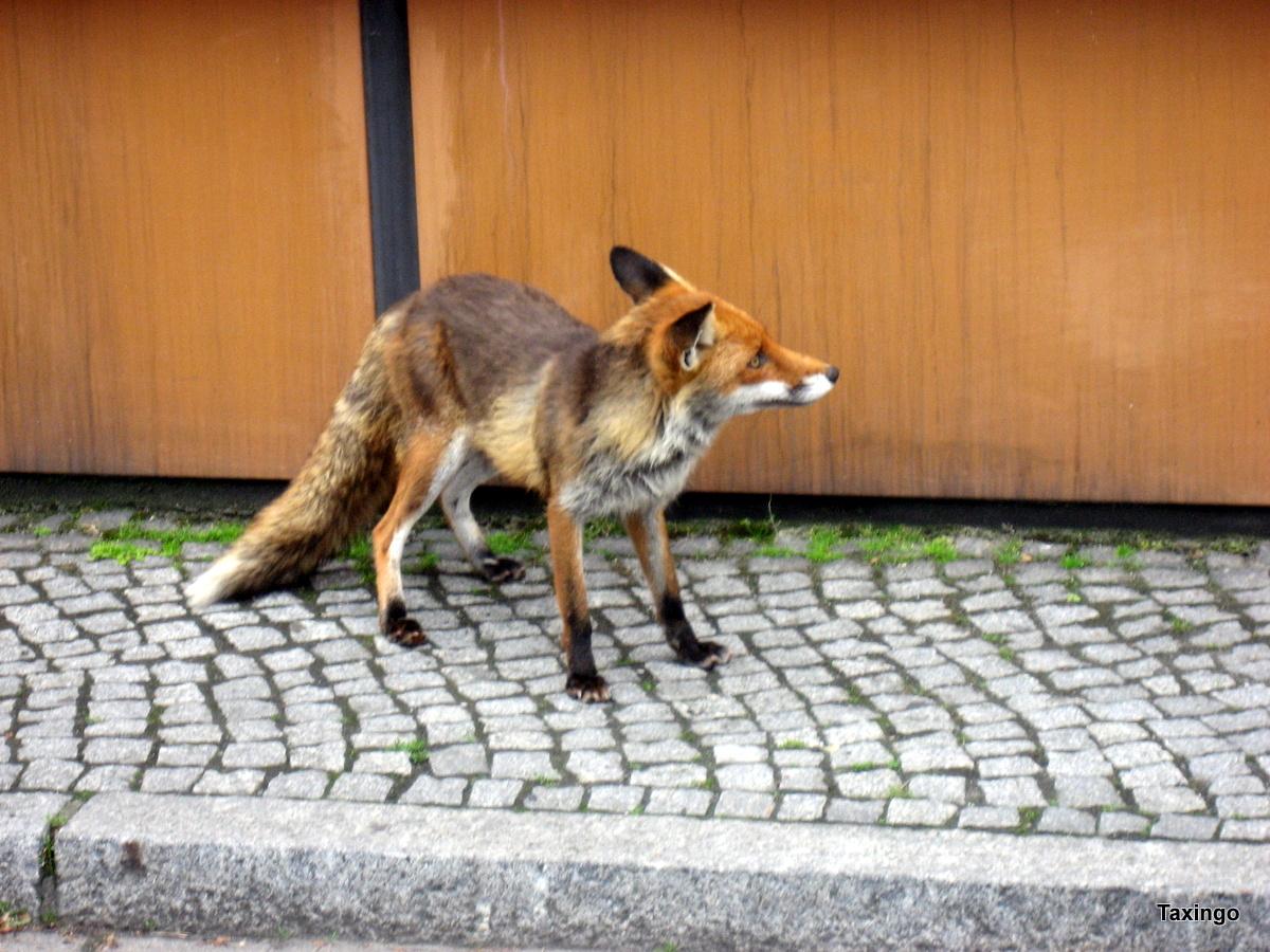Reineke Fuchs an der Tegel Tanke