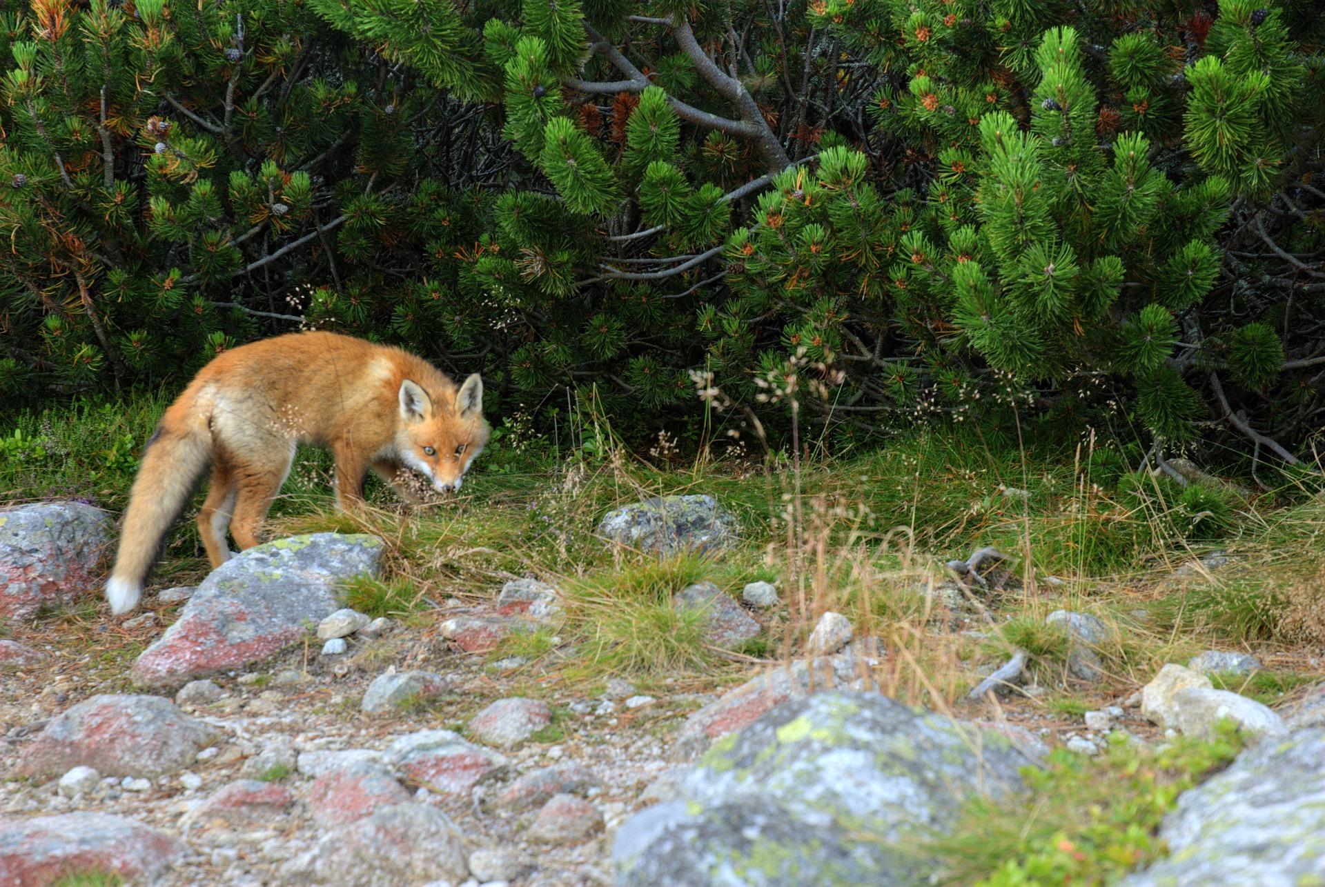 Der Fuchs auf dem Friedhof