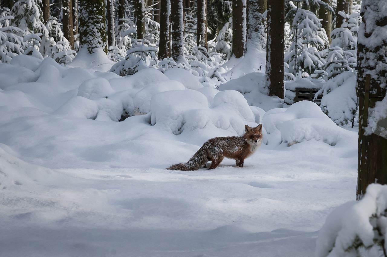 Der Fuchs im Winter ( Friedhof)