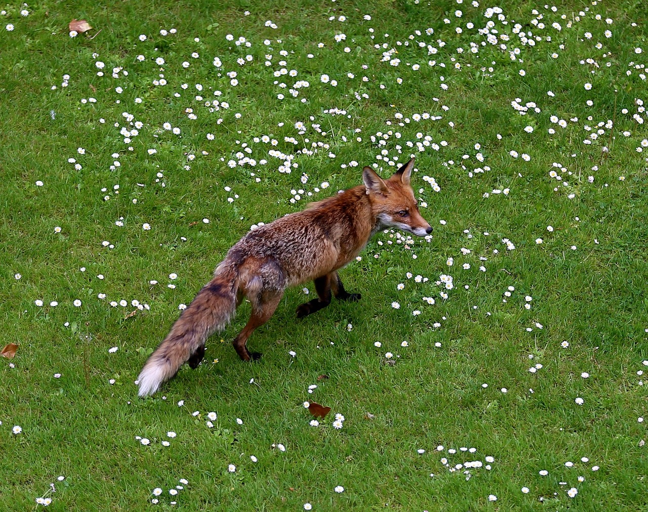 Reineke Fuchs im Frühling