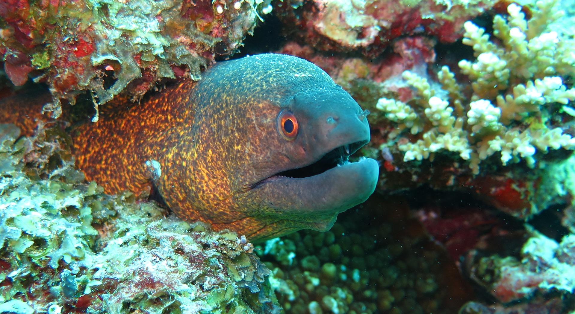 Muräne am Korallenriff