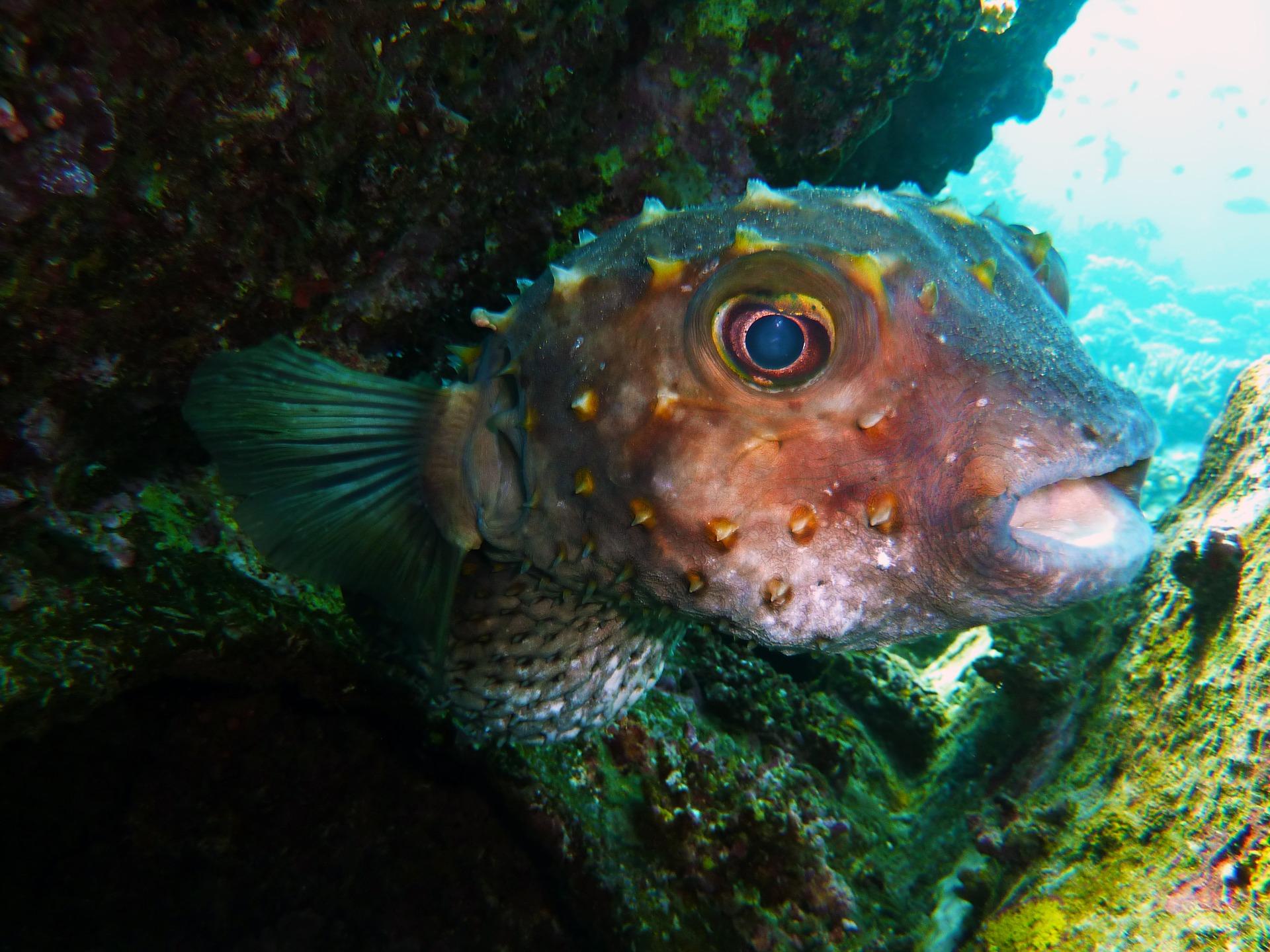 stachliger Igelfisch