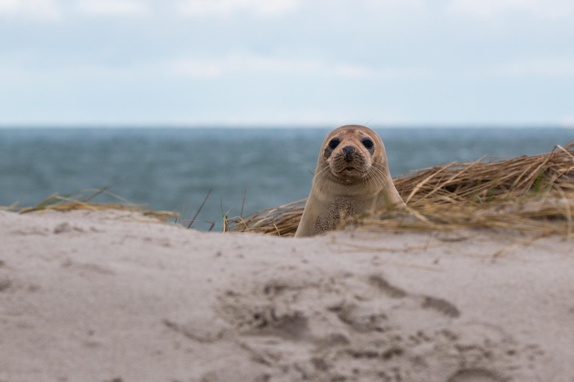 Seehund am Dünenstrand