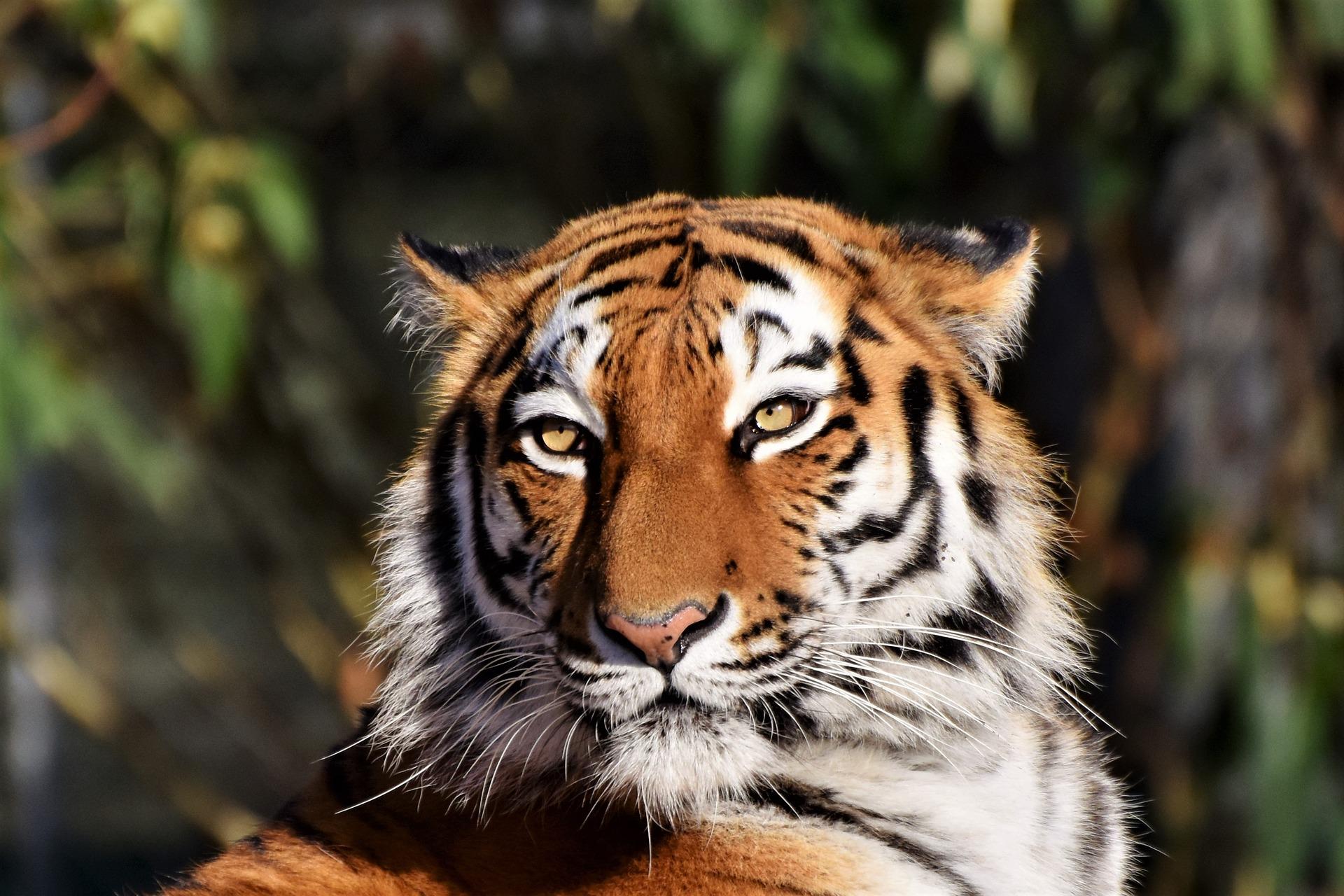 Der Tiger packt alle