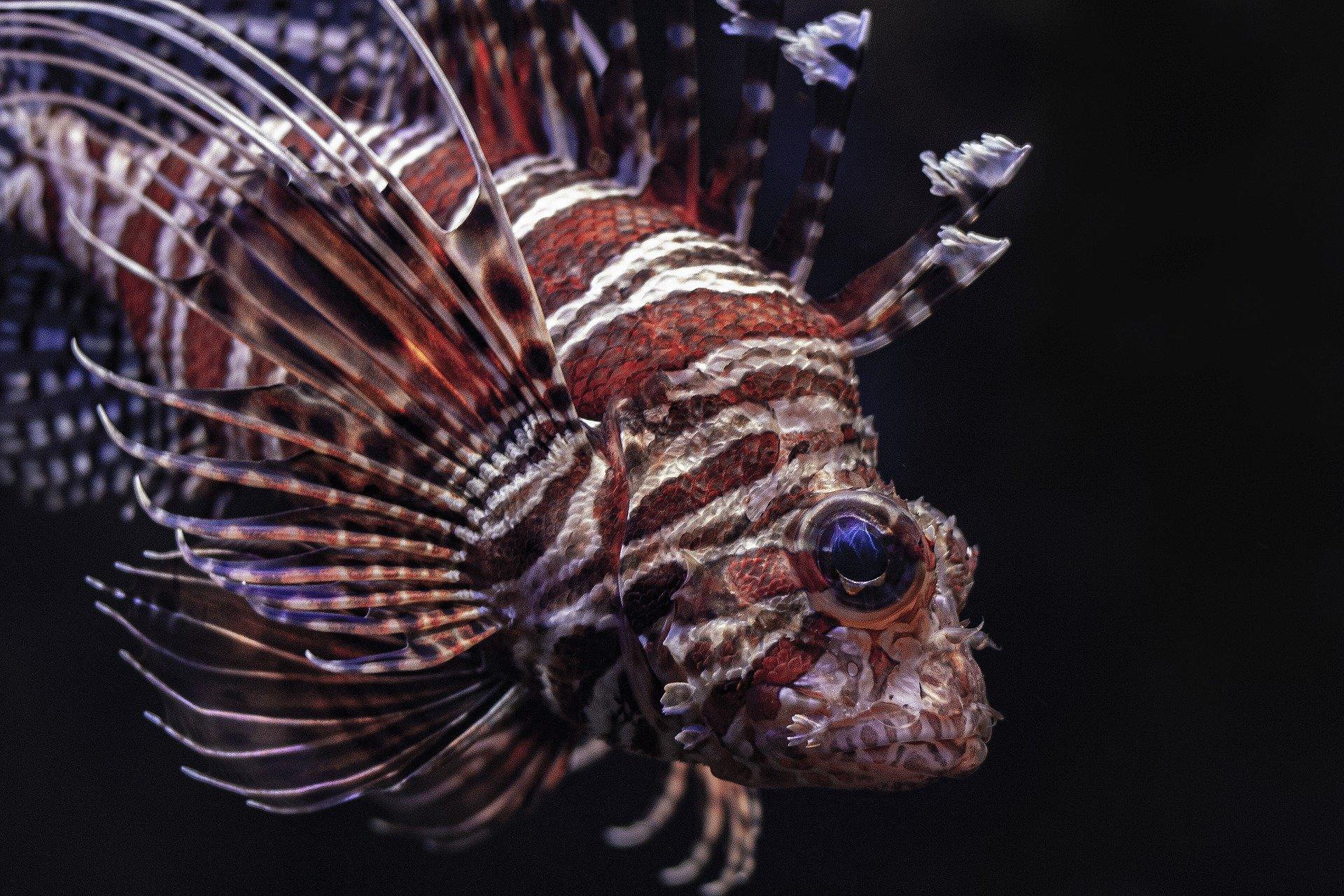 Feuerfisch im Profil