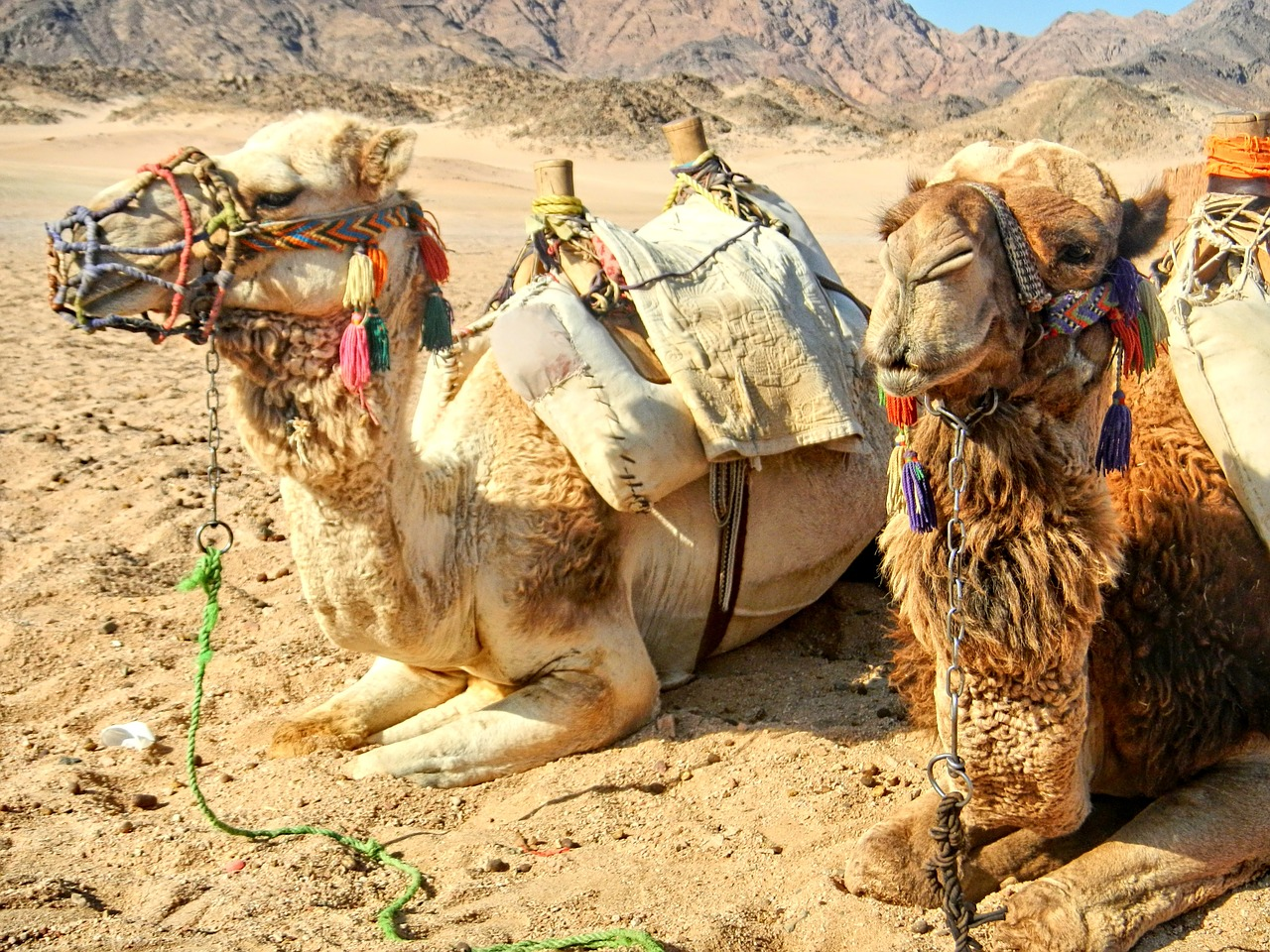 Kamele haben Pause
